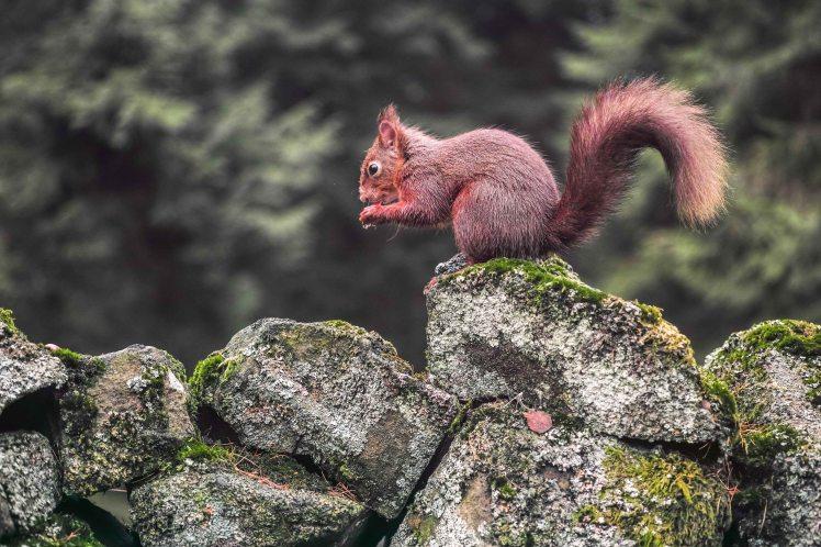 Red Squirrel | Sigma DP3 Merrill | www.richardjwalls.com